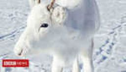 Rare white reindeer spotted in Norway