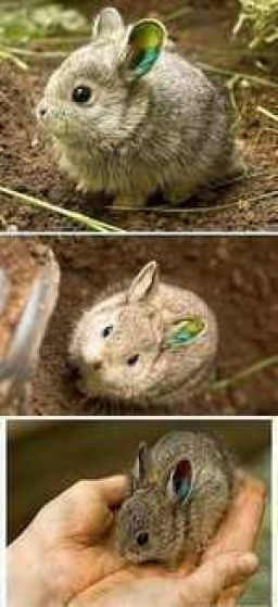 Meet the smallest rabbit in the world.