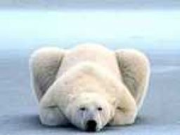 Polar bear lying down like a cat
